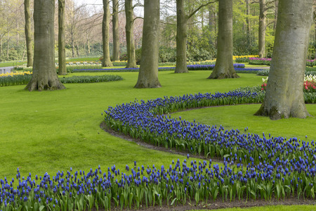 Blues flowers growing around trees and green grass in a well maintained spring garden in Netherlands