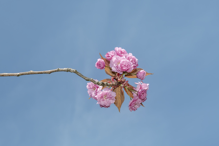 Young pink Sakura blossom blooming at the end of a branch against a pur blue sky in the spring season