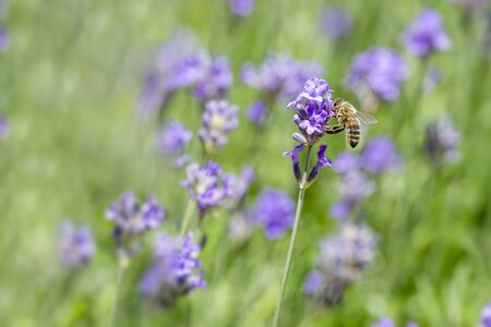 Honey bee landing on a blooming a purple lavender blossom collecting honey against a pur green background