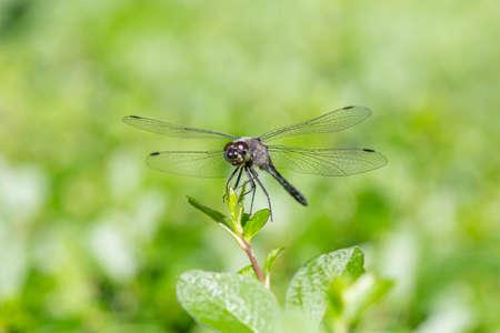 Black, deep blue dragonfly, libellula quadrimaculata, resting on a young blossom against a blurry orange background Foto de archivo