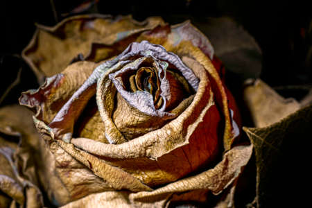 Dry and dead rose flower close up