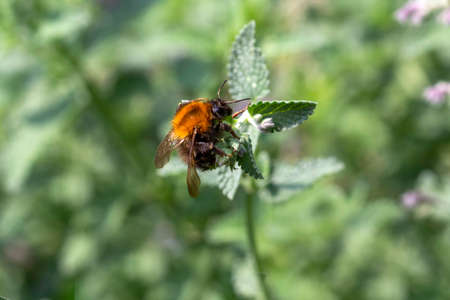 Bombus terrestris, bumble bee collecting, eating honey on menthe bloom against a green background Foto de archivo