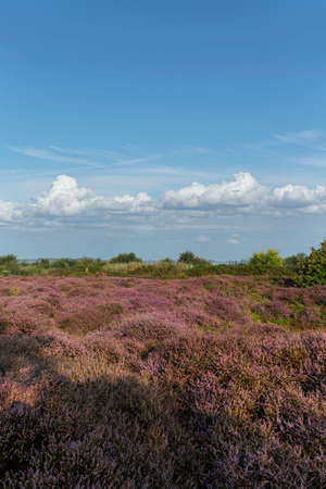 Purple heater flowers field under a pur blue cloud with low clear clouds