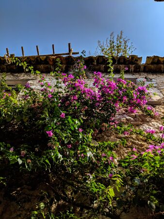 Pink Flowers in front of high stone wall in Eze, on French Riviera 스톡 콘텐츠