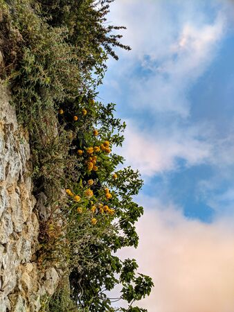 Lemon trees seen from below on Amalfi coast, Italy