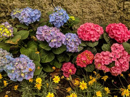 A close-up of the colorful flowers of a Hortensia in an Italian village