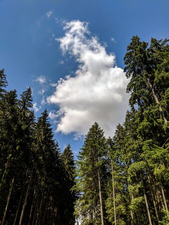 Tall Pine Trees in the Forest on a summer day - Bucegi Reservation, Romania
