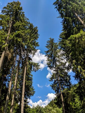Tall Pine Trees Perspective on a blue summer sky - Bucegi Reservation, Romania