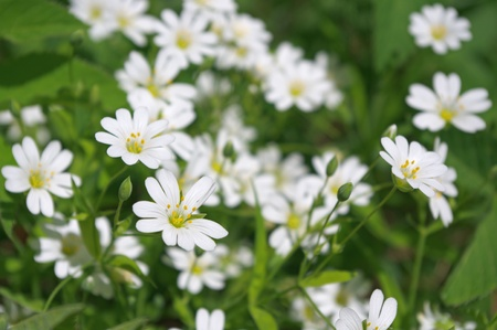 windflower: Spring flowers in forest - wood anemone, windflower (Anemone nemorosa) Stock Photo