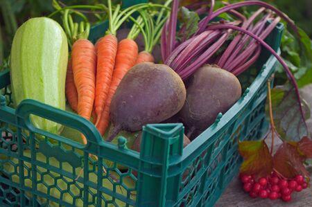 betabel: La cosecha de las verduras frescas en una caja verde en el jardín