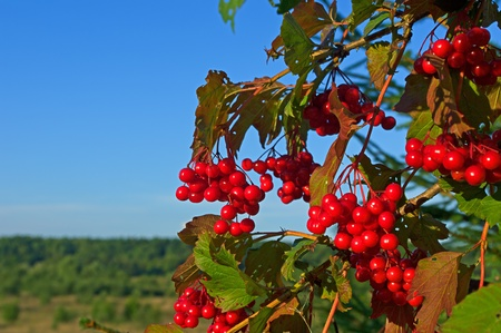 Branch of a mountain ash  rowan  with red berries against the blue sky Stock Photo - 12958461