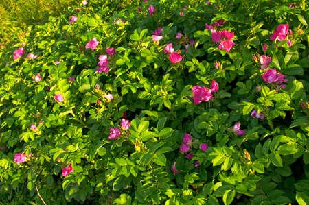 briar bush: bush with many pink dogrose (briar) flower