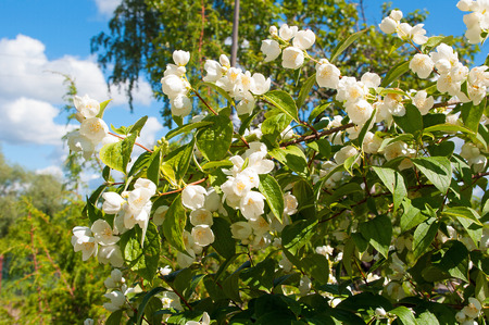 Beautiful white jasmine flower in garden