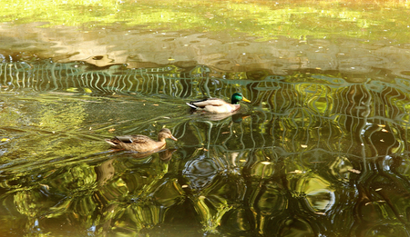 Mated pair of Mallards, closeup of ducks in the pond in beautiful water