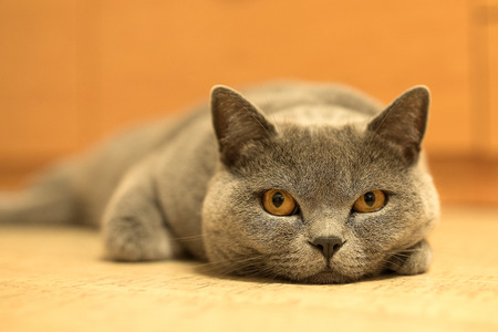 British shorthair cat looking around. Cat with blue gray fur