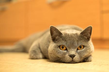 British shorthair cat looking around. Cat with blue gray fur