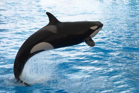 Mammal Orca Killer Whale Dolphin