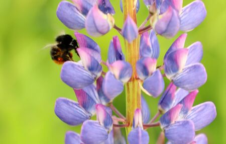 Bee bumblebee flying and flower, collection nectar