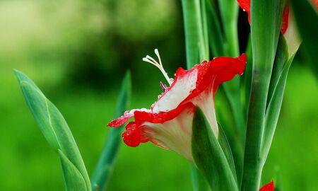 Red gladiolus flowers, closeup, macro gladioli 스톡 콘텐츠