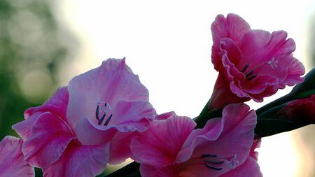 Pink gladiolus flowers, closeup 스톡 콘텐츠