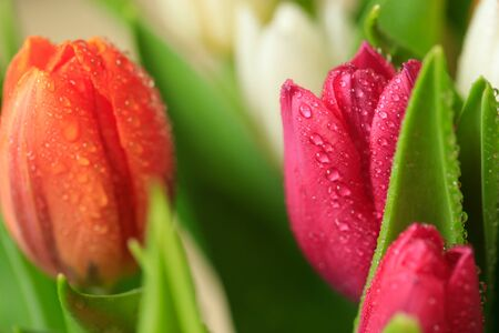 Tulip flower close up, with green leaf background. Beauty decoration design