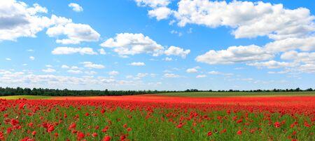 Poppy field. Landscape of poppiies 스톡 콘텐츠