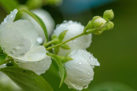 Jasmine flower. Beautiful white jasmine in garden