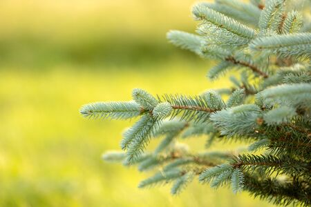 Branches of blue fir tree. Blue coniferous branches background