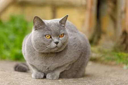 British short-haired cat on green grass