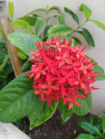 Ixora flower (west Indian Jasmine) Stock Photo