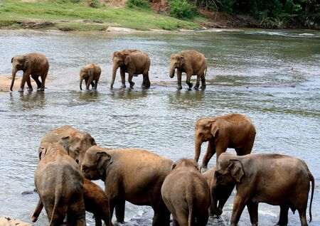 Photo taken at the Pinnawala Elephant Orphanage in Kegalle. The Orphanage treats injured elephants, caring also baby elephants that lost their mothers. Nearly 70 elephants live here. The Sri Lankan Elephant is endangered now. photo