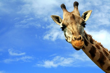 animal mouth: Friendly giraffe seen from the ground