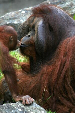 Baby orangutan kissing his dad.
