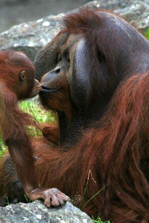 Baby orangutan kissing his dad.
