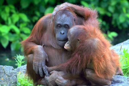 Baby orangutan hugging his mother.