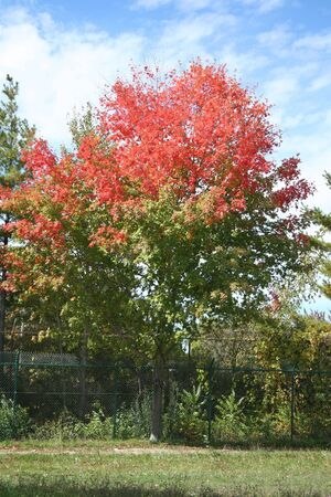 Red or Green? Cannot decide what to choose. Maples different autumn colors in Canada. photo