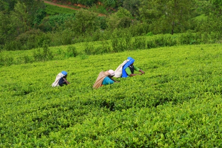 Tea Plantation Field with workers in Nuwara Eliya, Sri Lanka, 11 December 2007. Stock Photo