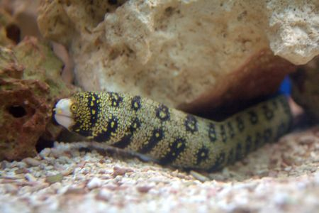sighted: Snowflake Moray Eel (Echidna nebulosa), normally sighted with only their heads extending from holes.