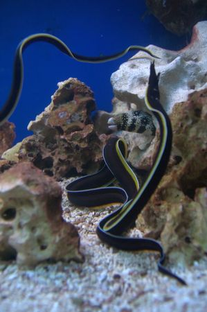 eel: Black and yellow long thin moray eel fish Stock Photo