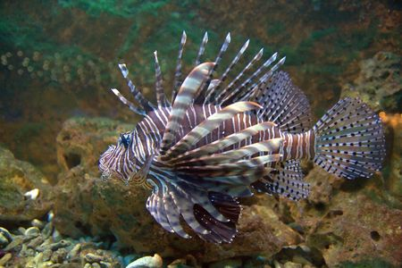 volitans: The red lionfish (Pterois volitans), a venomous coral reef fish from the Indian and western Pacific Oceans.