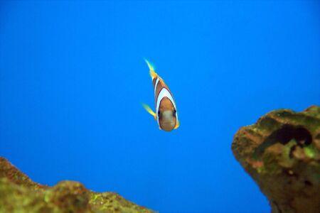 percula: Amphiprion Percula (Percula Clownfish) looking straight into the camera.