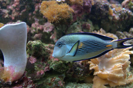A striped white, ink and blue tropical fish Stock Photo - 5589393