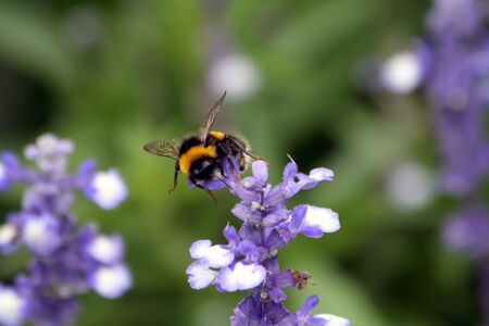 A Bee hovering while collecting pollen from lavender Stock Photo - 6057462