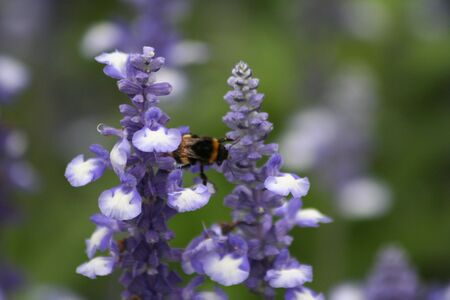 A Bee hovering while collecting pollen from lavender Stock Photo - 6096317