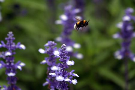 A Bee hovering while collecting pollen from lavender Stock Photo - 6096320
