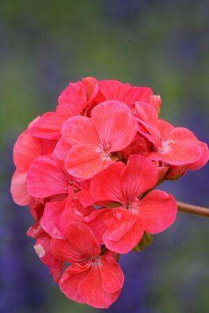 Close-up of a red Garden geranium (Pelargonium x hortorum) photo
