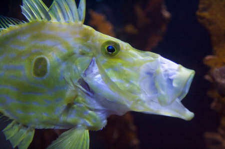 Congiopodidae is a family of scorpaeniform fishes native to the southern hemisphere, commonly known as pigfishes, horsefishes and racehorses. Stock Photo - 6096321