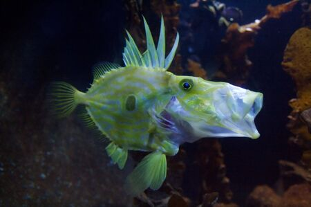 Congiopodidae is a family of scorpaeniform fishes native to the southern hemisphere, commonly known as pigfishes, horsefishes and racehorses. Stock Photo - 6096340