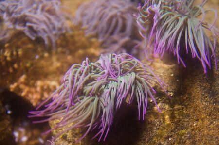 Green and purple sea anemones. A sea anemone is a polyp, attached at the bottom to the surface beneath it by an adhesive foot, called a pedal disk, with a column shaped body ending in an oral disk. The mouth is in the middle of the oral disk, surrounded b Stock Photo - 6096331