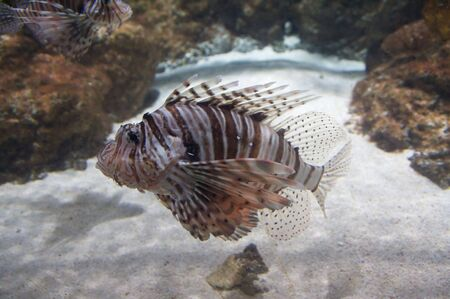 The red lionfish (Pterois volitans) venomous coral reef fish is clad in white stripes alternated with red, maroon, or brown. The fish has fleshy tentacles that protrude from both above the eyes and below the mouth.  photo
